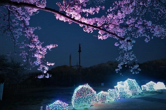 2019 よみうりランドの桜(15)