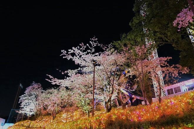 2019 よみうりランドの桜(16)