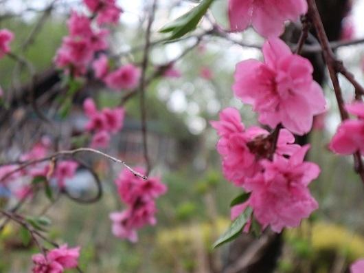 分水れい桜??