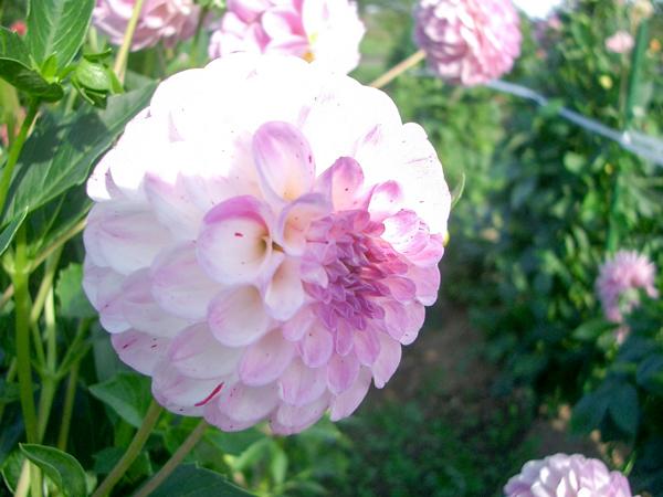 010921_Dahlia3.jpg