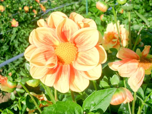 010921_Dahlia4.jpg