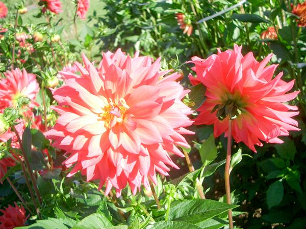 010921_Dahlia5.jpg