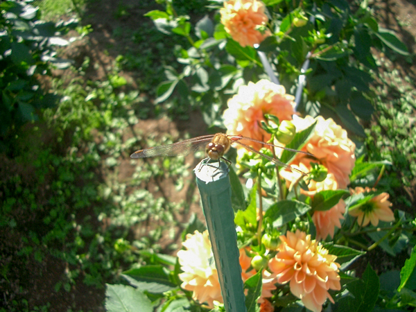 010921_Dahlia6.jpg