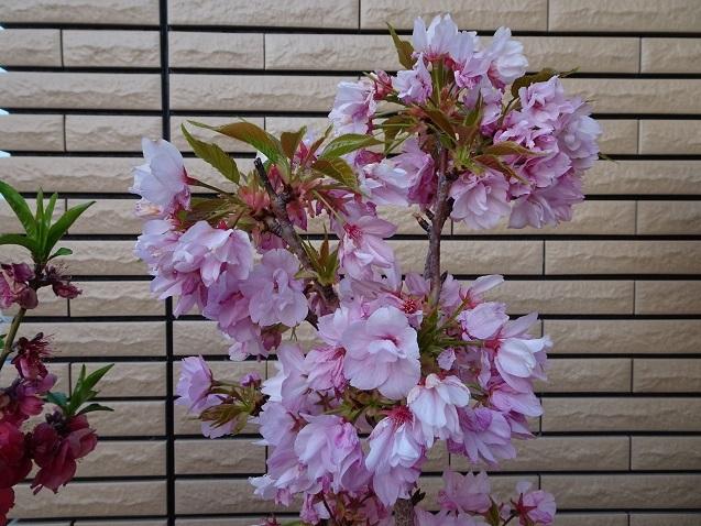 04DSC旭山桜06423