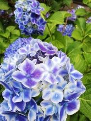 谷中 護国山天王寺の紫陽花