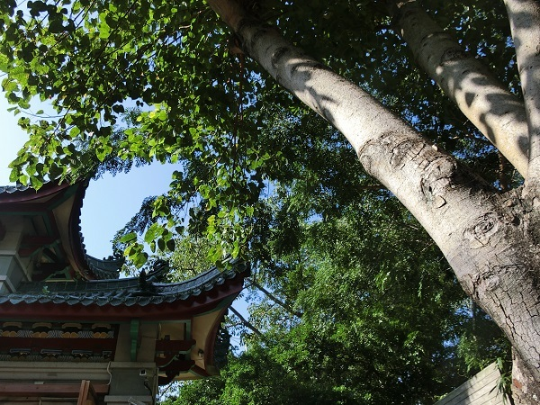 22-CIMG3498菩提樹
