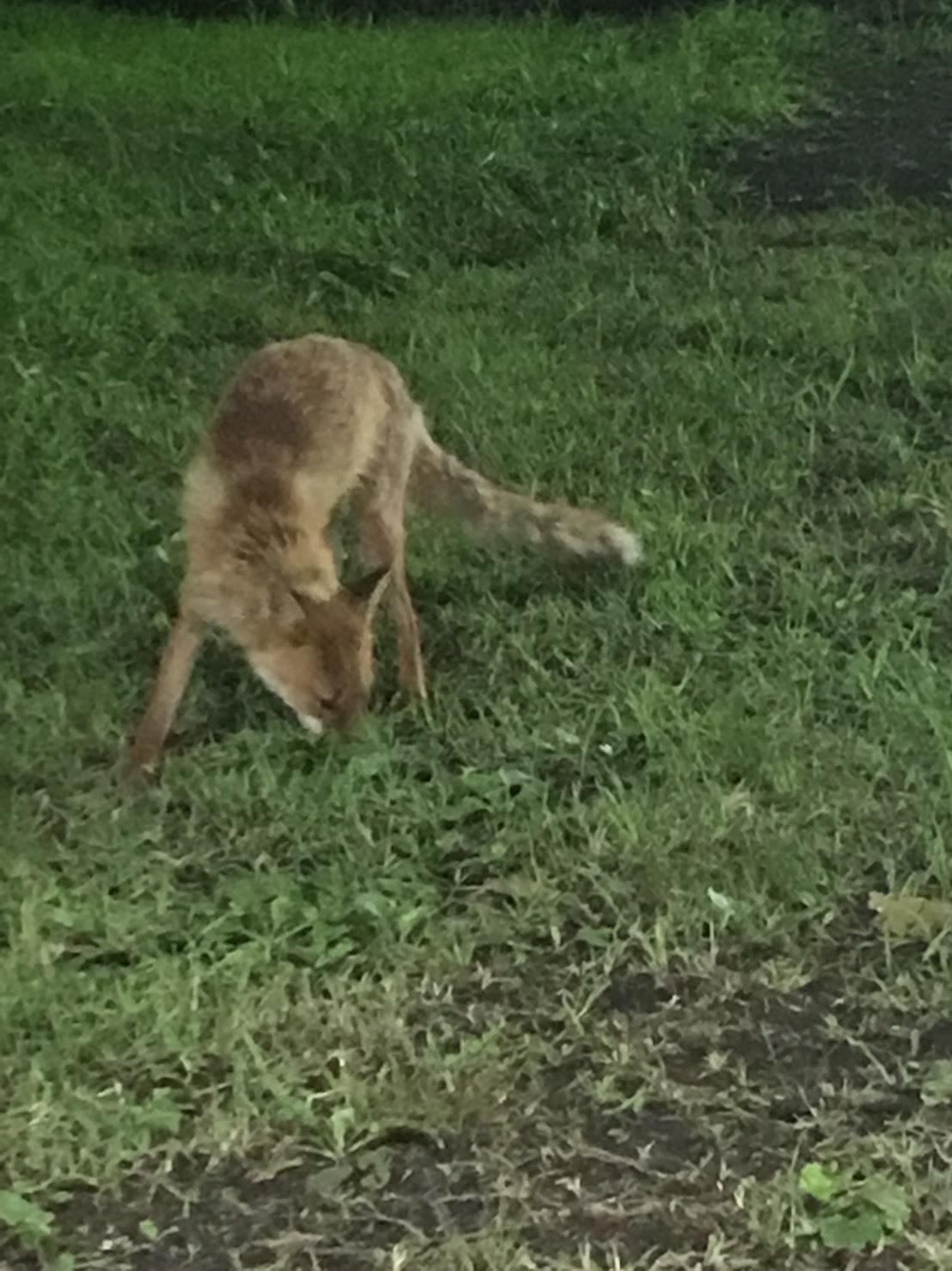 熊本の狐 (3)