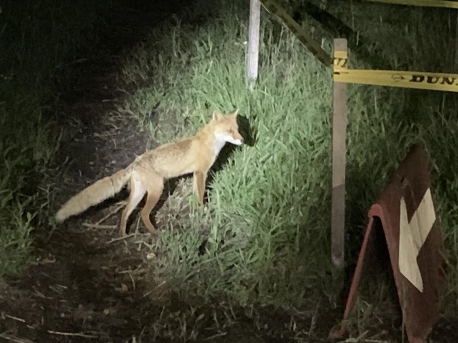 熊本の狐 (2)