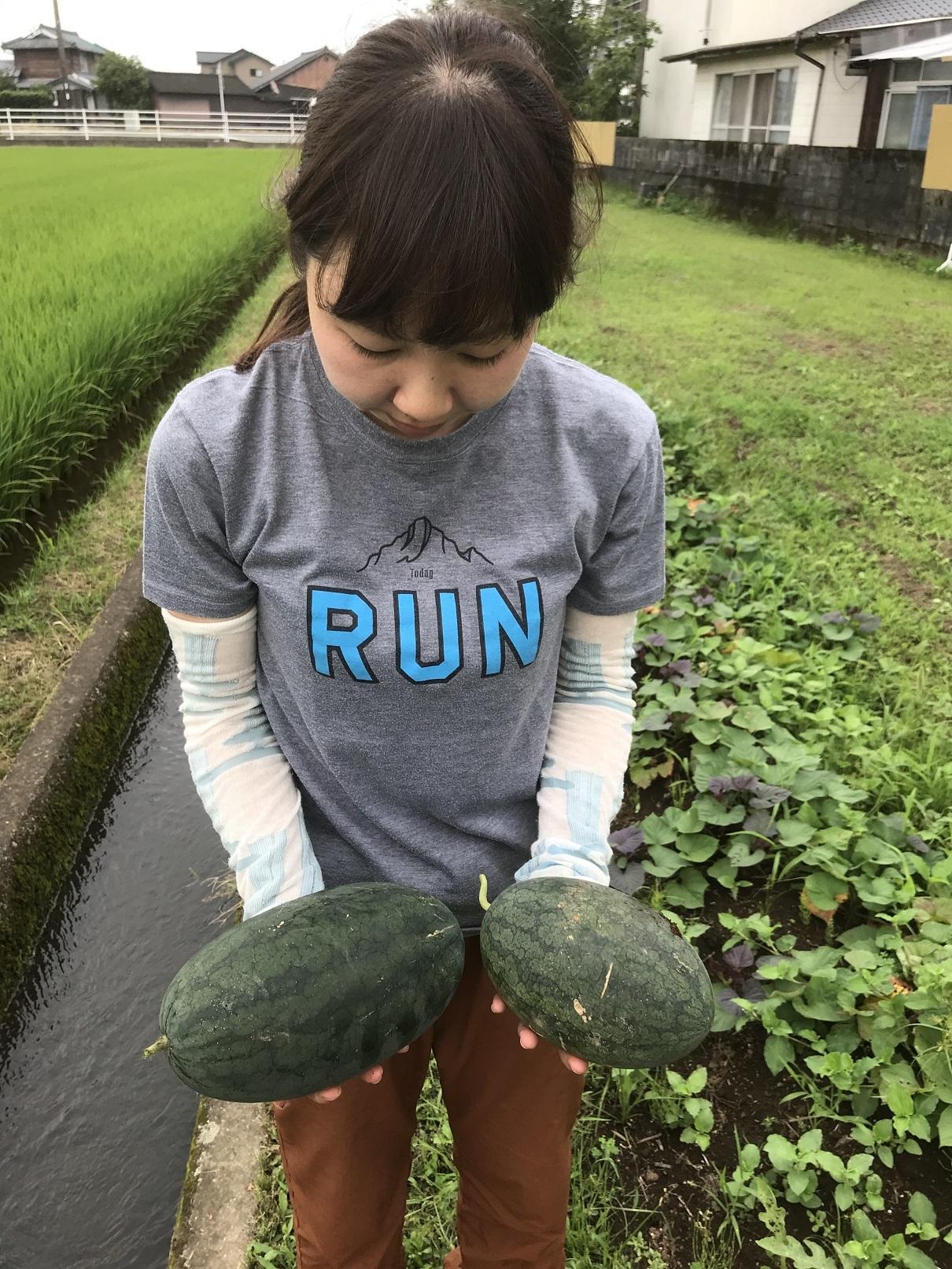 スイカ収穫 (1)