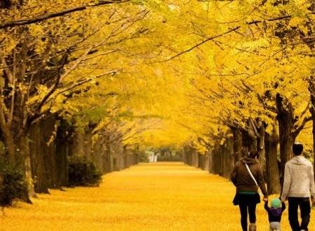 秋銀杏並木