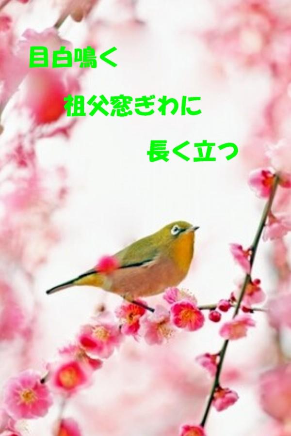 梅とメジロ1