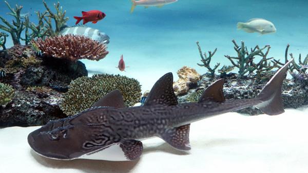 シノノメサカタザメ(サン)