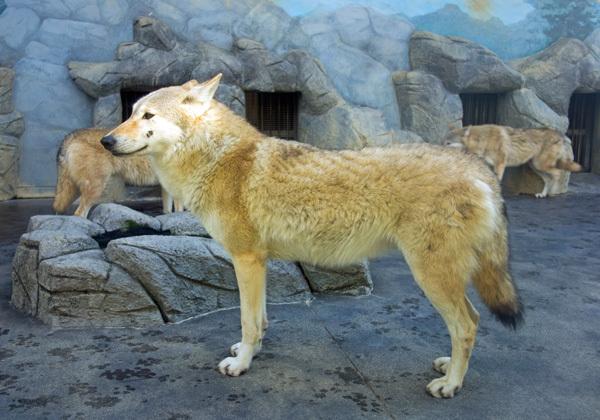 チュウゴクオオカミ(天王寺)