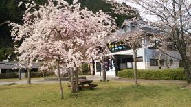富郷の桜 湖畔のやかた前