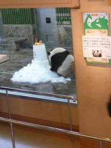 王子動物園 タンタンの24歳誕生日3