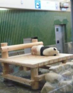 王子動物園 タンタンの24歳誕生日 寝てる1