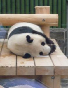 王子動物園 タンタンの24歳誕生日 寝てる3