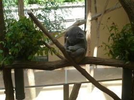 王子動物園 寝てるコアラ