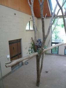 王子動物園 普通のコアラ