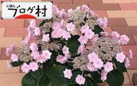 C-ajisai2_201811180841176e5.jpg