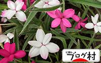 C-attuzakura.jpg