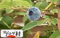 C-blueberry2.jpg