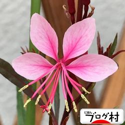 gaura_201909090730115a1.jpg