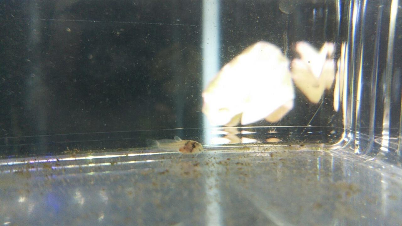 稚魚 コリドラス