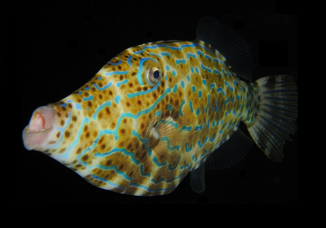 1920px-Scrawled_Filefish.jpg