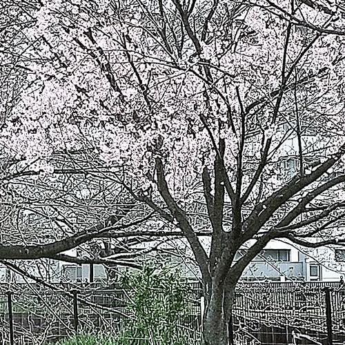 cherry blossoms190324