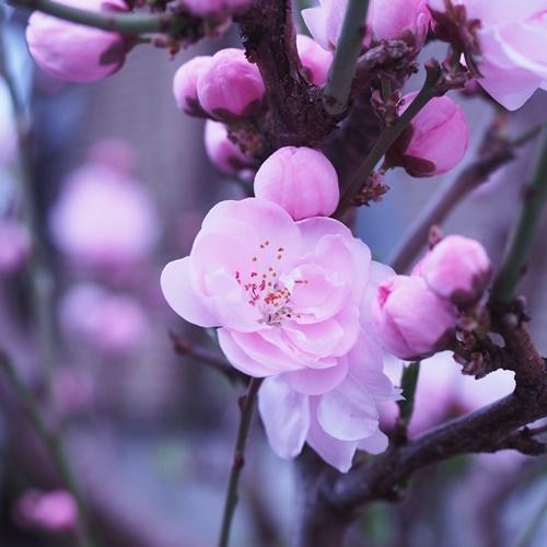 peach blossom190331