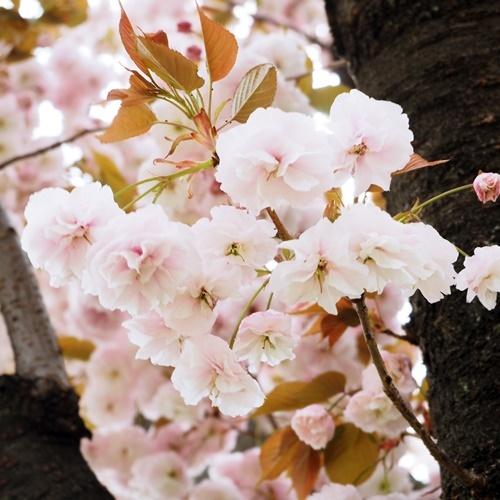 cherry blossoms190418jpg