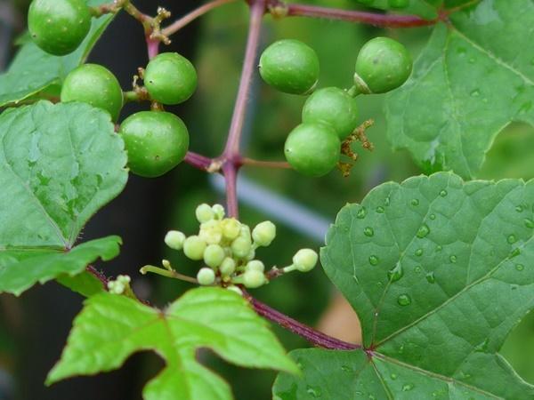 wild grape190831_a2