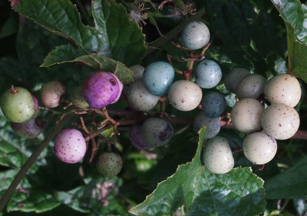 wild grape190911_3