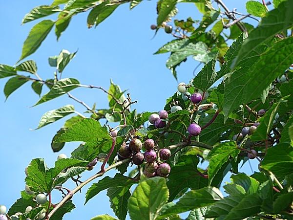 wild grape190911_2