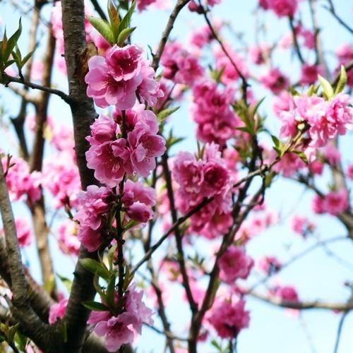 cherryblossoms190319.jpg