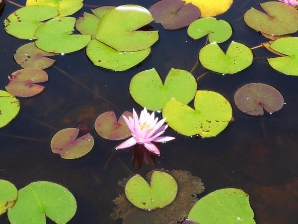 lotus190911.jpg