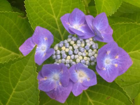 紫陽花2019