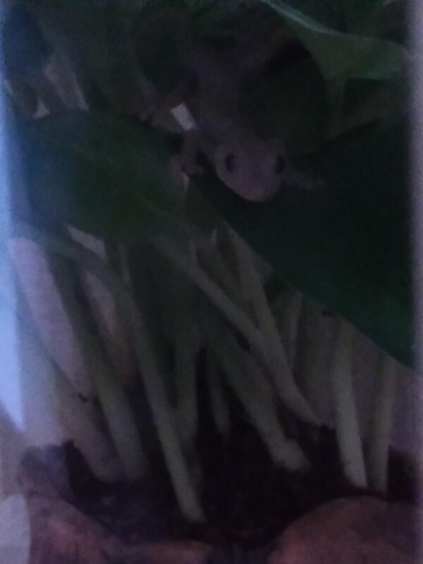 ヤモリ2019年9月