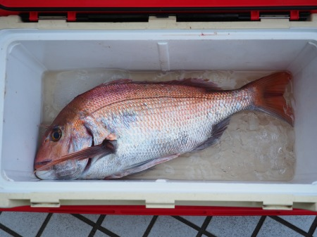 60cm鯛の捌き方、鯛しゃぶ鍋031
