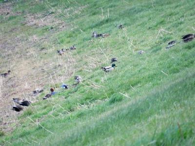 土手で草を食べるカモたち