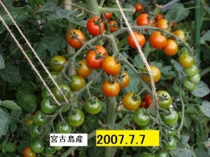 IMGP0144トマト2007年7月7日166KB