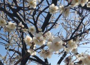 梅の花も190309