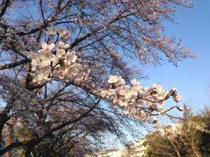 朝の道の桜190328