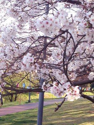 桜 190401