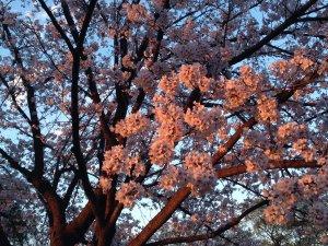 夕方の桜190403