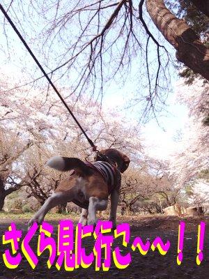 桜に向かってクウ190406