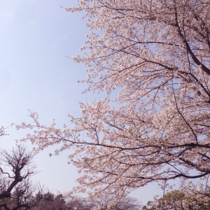 桜の花と枝190406