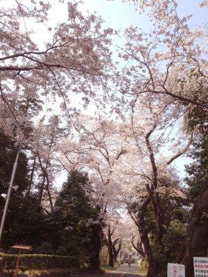大学の桜190406