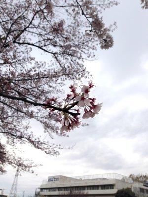 朝の桜190411